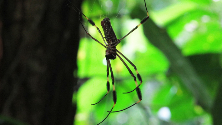 Nephila golden silk spider