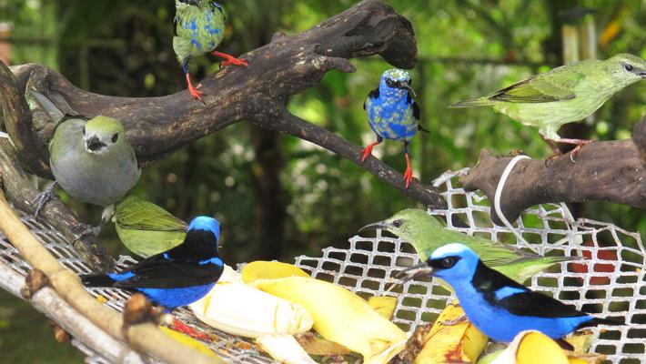 Gambodian birdfeeder