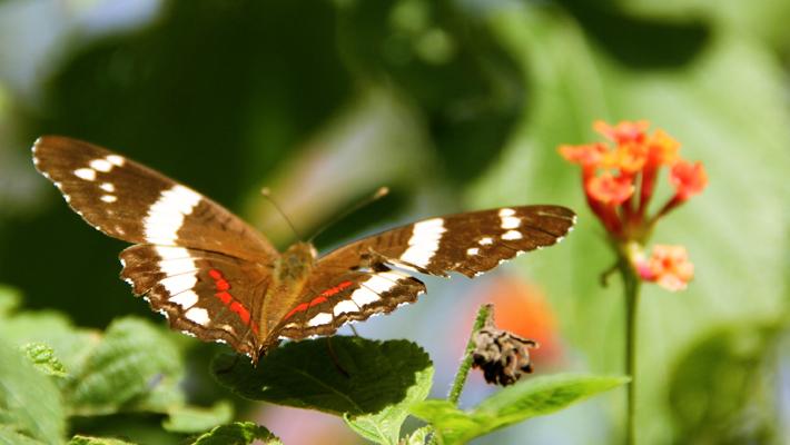 Common mariposa