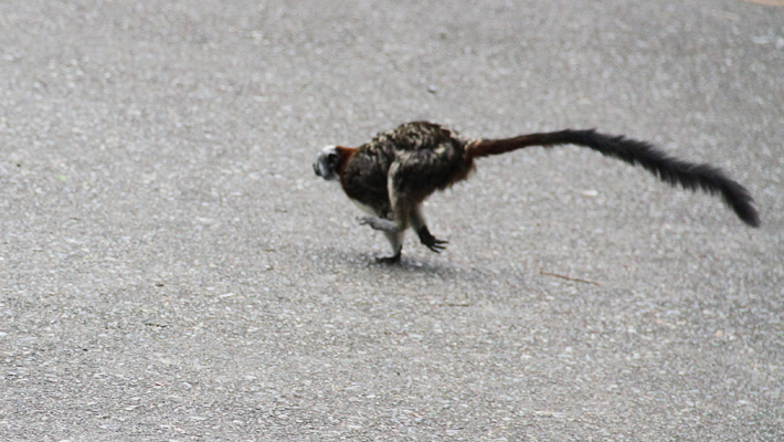 Squirrel imitation